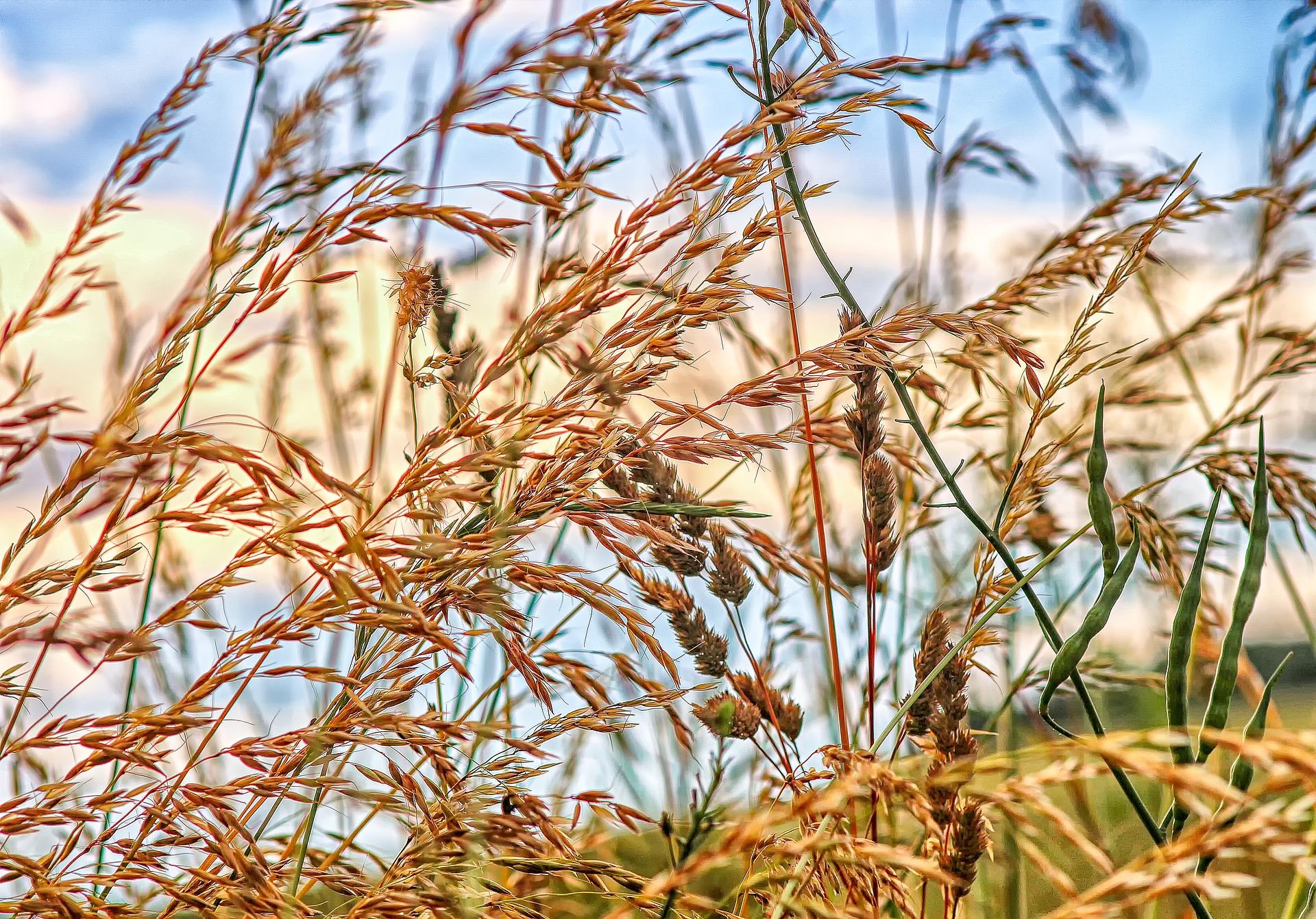 pixabay grass seeds
